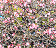 Adenium obesum oder Bonsaibaum Stockfotografie