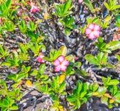 Adenium obesum oder Bonsaibaum Lizenzfreies Stockbild