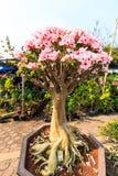 Adenium obesum oder Bonsaibaum Lizenzfreies Stockfoto