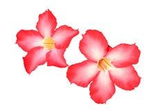 Adenium obesum oder Impala-Lilie ist schöne Blume auf weißem backg Stockfoto