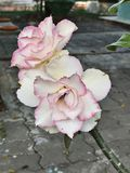 Adenium obesum oder Impalalilie oder Spottazalee oder Wüstenrose- oder Sabi-Sternblume Stockbilder