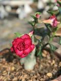 Adenium obesum oder Impalalilie oder Spottazalee oder Wüstenrose- oder Sabi-Sternblume Lizenzfreies Stockbild