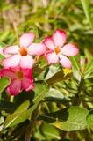 Adenium obesum oder rosa Wüstenrosenahaufnahme Lizenzfreie Stockbilder