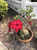 Adenium obesum oder Spott-Azaleenblume Stockfoto