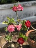 Adenium obesum oder Spott-Azaleenblume Lizenzfreie Stockbilder