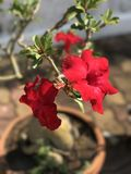 Adenium obesum oder Spott-Azaleenblume Lizenzfreie Stockfotografie