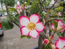 Adenium-obesum oder Wüstenrose diese Blume hat rosa Farbe Lizenzfreies Stockfoto