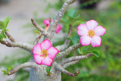 Adenium obesum oder Wüstenroseblume Stockfotografie