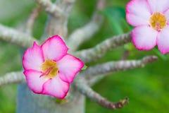 Adenium obesum oder Wüstenroseblume Lizenzfreies Stockfoto