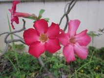 Adenium obesum oder Wüstenroseblume Stockfoto