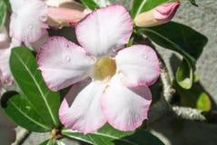 Adenium obesum populäre Spezies von Anlagen in Thailand Stockbild