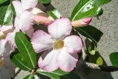 Adenium obesum populäre Spezies von Anlagen in Thailand Lizenzfreies Stockfoto