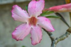 Adenium obesum populäre Spezies von Anlagen in Thailand Lizenzfreie Stockfotografie