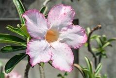 Adenium obesum populäre Spezies von Anlagen in Thailand Stockfotografie