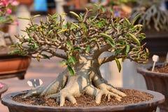 Adenium obesum drzewo Fotografia Stock