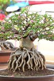 Adenium obesum drzewo Obraz Stock