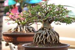 Adenium obesum drzewo Zdjęcie Royalty Free