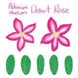 Adenium Obesum set stock illustration