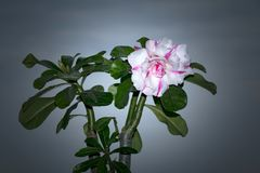 Adenium Obesum Desert Rose stock!. Adenium obesum is a species of flowering plant in the dogbane family, Apocynaceae, that is native to the Sahel regions, south Royalty Free Stock Images
