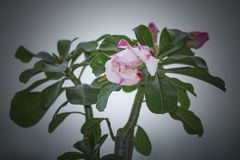 Adenium Obesum Desert Rose stock!. Adenium obesum is a species of flowering plant in the dogbane family, Apocynaceae, that is native to the Sahel regions, south Stock Photo