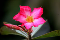 Adenium Royalty Free Stock Photos
