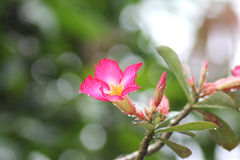 Adenium Royalty Free Stock Images