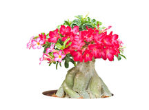 Adenium obesum tree also known as Desert Rose, Impala Lily, Mock Stock Image