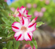 Adenium obesum tree also known as Desert Rose Stock Image