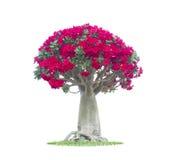 Adenium obesum tree also known as Desert Rose Royalty Free Stock Photo