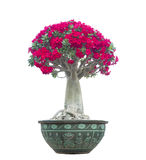 Adenium obesum tree also known as Desert Rose Royalty Free Stock Photo