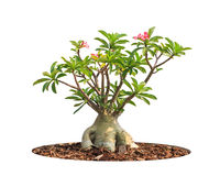 Adenium obesum tree Royalty Free Stock Photography