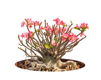 Adenium obesum tree Stock Images