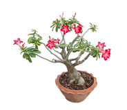 Adenium obesum tree also known as Desert Rose, Thailand. Royalty Free Stock Images