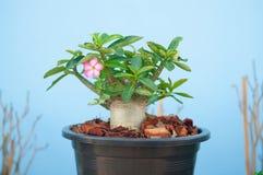 Adenium obesum tree or Desert rose in flowerpot Royalty Free Stock Photo