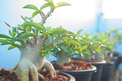 Adenium obesum tree or Desert rose in flowerpot Stock Photos