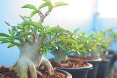 Adenium obesum tree or Desert rose in flowerpot Stock Photos