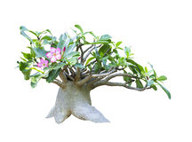 Adenium obesum tree isolated stock images