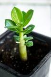 Adenium obesum Wüste Rose Impalalilie Scheinazalee Lizenzfreies Stockbild