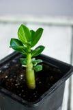 Adenium obesum Wüste Rose Impalalilie Scheinazalee Lizenzfreie Stockfotos