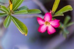 Adenium obesum, Wüstenrose Stockfoto