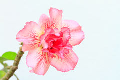 Adenium obesum, Wüstenrose, Impala-Lilie oder Spott-Azalee Lizenzfreie Stockfotografie
