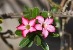Adenium obesum (Wüstenrose; Impala-Lilie; Scheinazalee) Lizenzfreies Stockbild