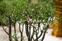 Adenium obesum (Wüstenrose; Impala-Lilie; Scheinazalee) im Garten Lizenzfreies Stockbild