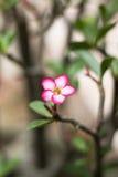 Adenium obesum (Wüstenrose; Impala-Lilie; Scheinazalee) im Garten Lizenzfreie Stockfotografie