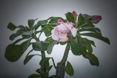 Adenium Obesum-Wüstenrosevorrat! Stockfoto