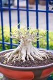Adenium oder Wüstenrose im Blumentopf Stockbild