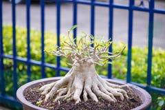Adenium oder Wüstenrose im Blumentopf Stockfoto