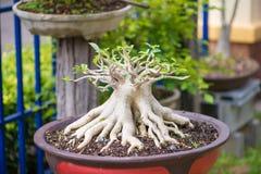 Adenium oder Wüstenrose im Blumentopf Lizenzfreies Stockfoto