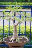 Adenium oder Wüstenrose im Blumentopf Lizenzfreie Stockfotografie