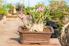 Adenium oder Wüstenrose im Blumentopf Lizenzfreie Stockfotos